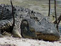 Picture of resting alligator in Ding Darling Wildlife Preserve, Sanibel Island, Florida