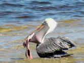 Picture of a Pelican eating a fish in Bokeelia, Florida